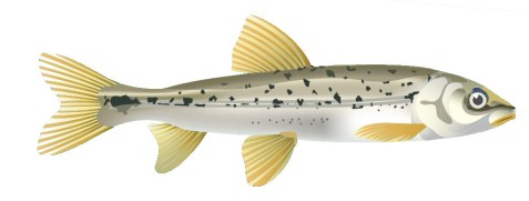 The Speckled Dace is a small minnow found in the Kettle River watershed and western United States. Illustration by Nichola Lytle, Pink Dog Designs