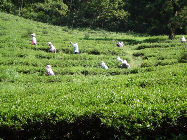 Culture du thé en Corée du sud