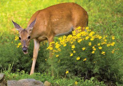 A Deer Proof Garden
