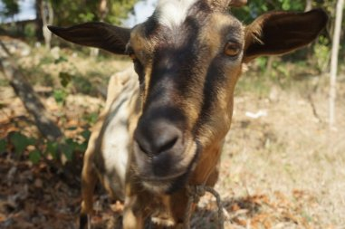 My son Kelly loves goats, and Haiti is full of them. Babies, adults, a lot.