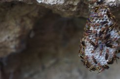 A wasp nest in the cave at Bassin Zim.