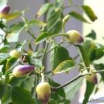 Paprika ültetvényem