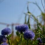 Kis kék virág