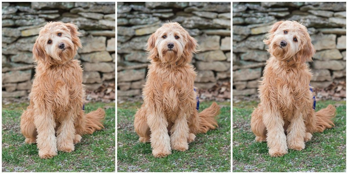 Dog standing by a stone wall during an engagement session at Shaker Village in Harrodsburg, KY.