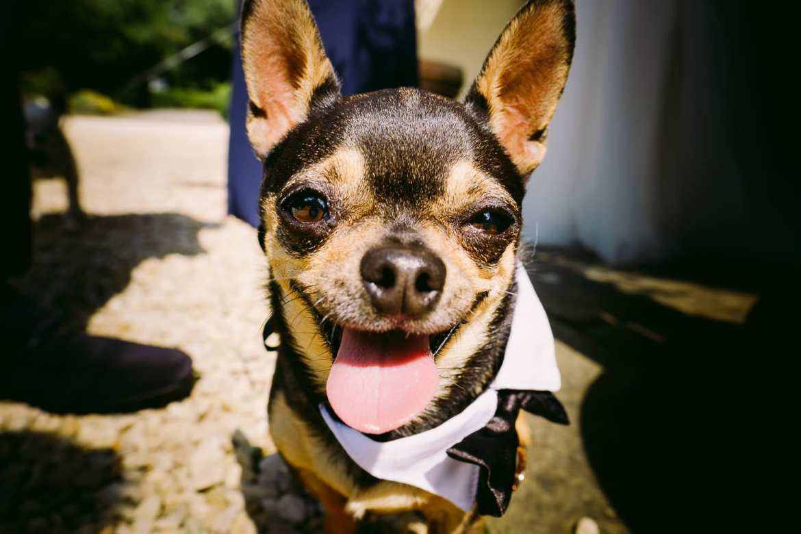 Pee-wee the chihuahua smiles for the camera