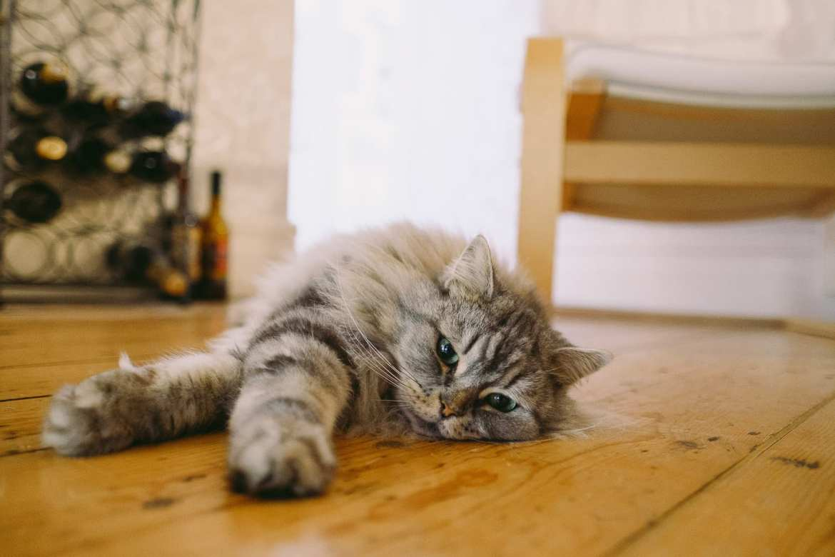 The grooms' cat stretched out on the floor