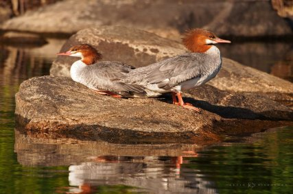 Common Mergansers: a pair of mergansers rest on a rock in Muskoka, Ontario.