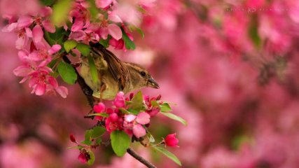 Female House Sparrow in a Flowering Crabapple Tree: a sparrow feeds in a tree of pink.
