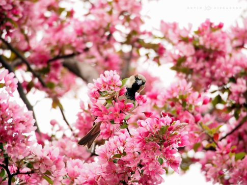 Male House Sparrow in a Flowering Crabapple Tree