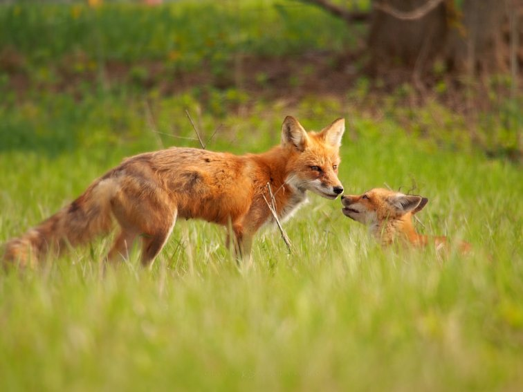 A Moment Shared: a red fox kit shares a tender monent with mom.