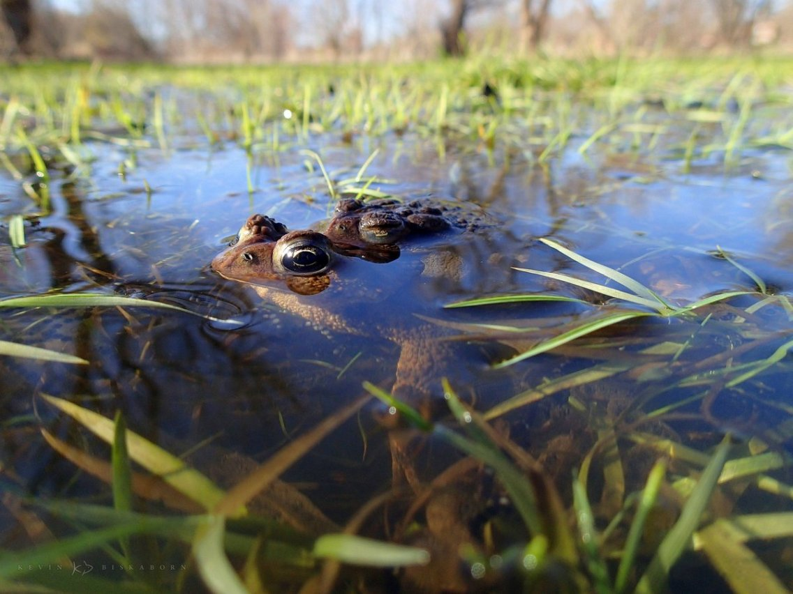 Eastern American Toads: a male American toad clings to a female.