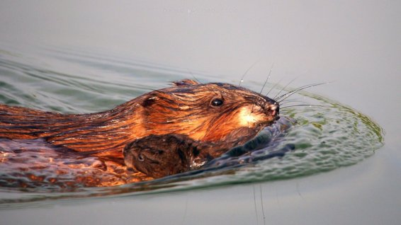 Muskrat Carrying Baby: a mother muskrat transports her newborn across a pond.