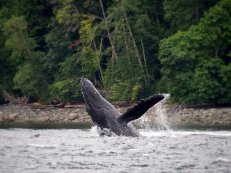 Humpback Whale Breach: a humpback whale leaps out of the water near Tofino, British Columbia.