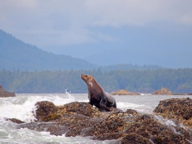 King of the Rock: a stellar sea lion poses on rock outcrop in Tofino, British Columbia.