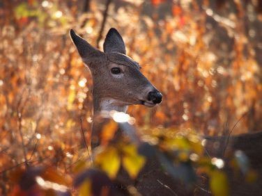 Autumn Doe: a white-tailed deer doe is surrounded by the colours of fall.