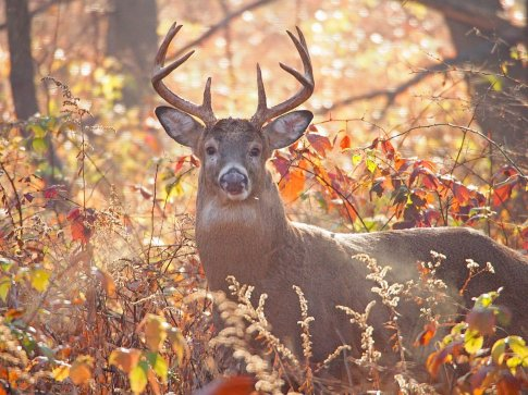 Breath of Autumn: the chilly air reveals the exhaled breath of this white-tailed deer buck.