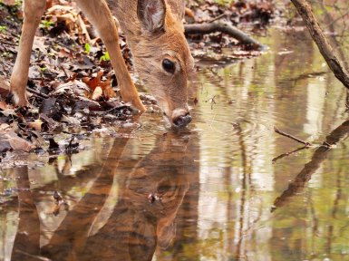 A Moment of Reflection: a white-tailed deer doe sips water from a stream.