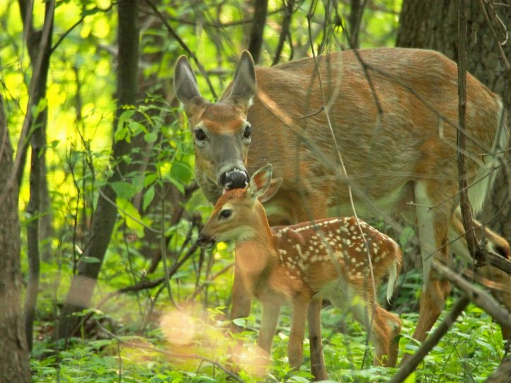 Loving Licks from Mom: a mother white-tailed deer grooms his newborn fawn.