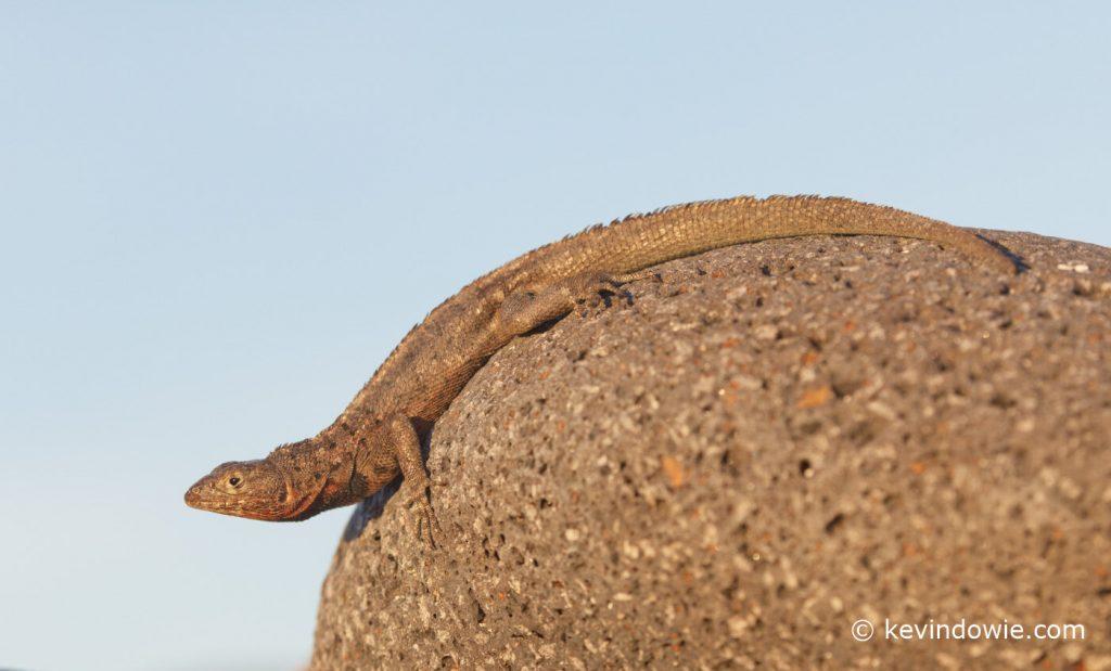 Lava lizard, Galapagos Islands.