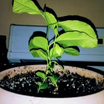 picture of small lemon tree