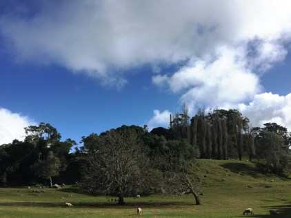 Among many features of One Tree Hill is also a living farm with sheep also cattle in which shows the public of how Auckland centrally once was..