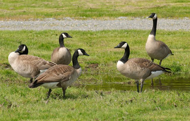 800px-Canada_Geese_at_Marymoor_Park