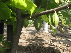 Cauliflory in cacao.