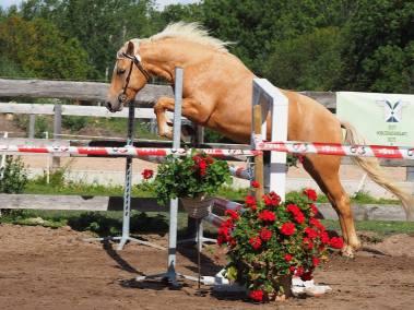 Eesti hobune Tron (2013) Eesti tõugu noorhobuste üleriigilised jõudluskatsed Kõljala, Saaremaa