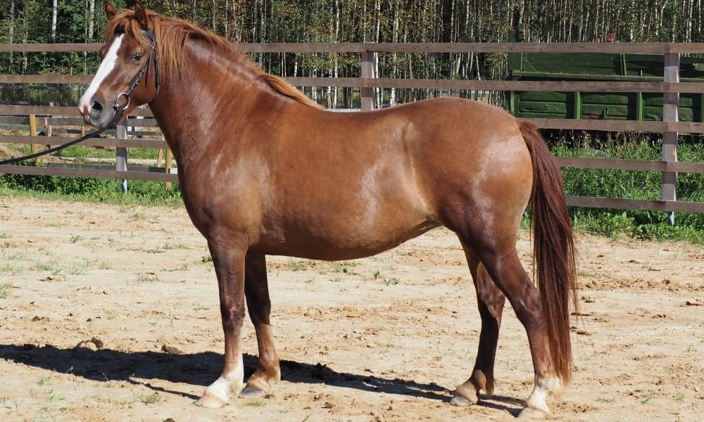 Müüa Eesti hobune – Trissa