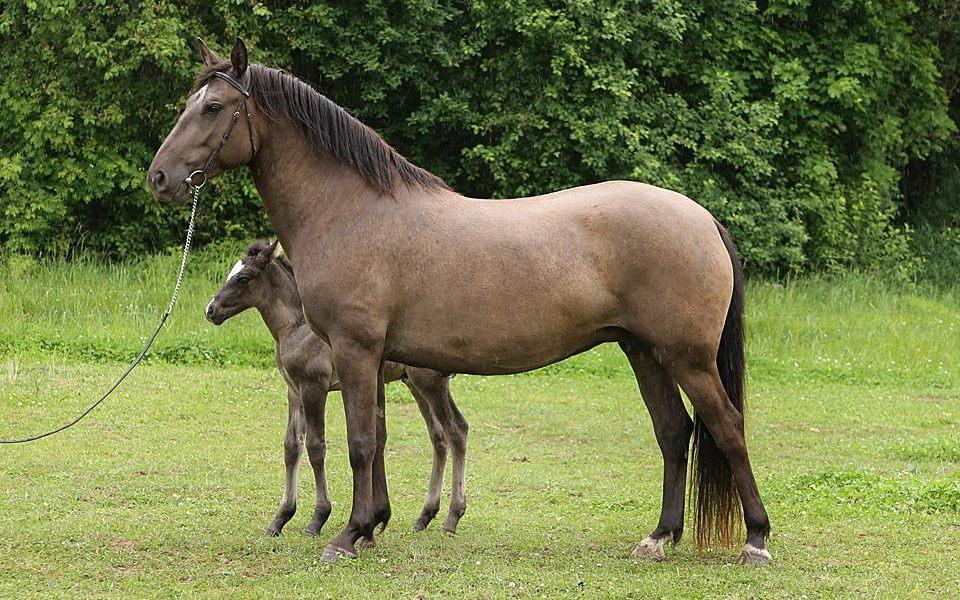 Eesti hobune – Alma 4299E