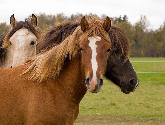 Eesti hobune – Voore Lolai