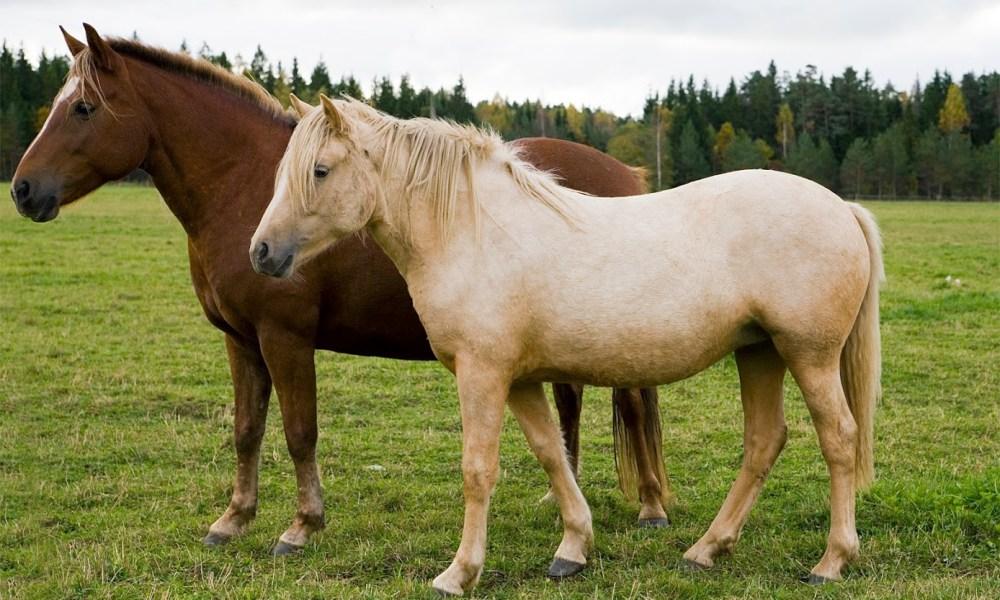 Eesti hobune – Tihvani