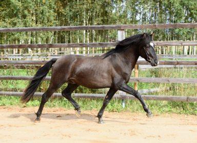 Eesti hobune Tarpan 2 aastane (2017)