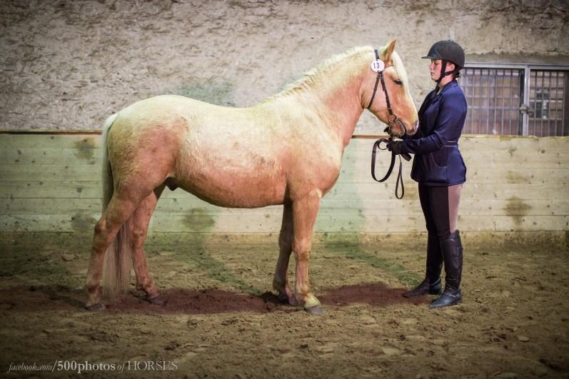 Eesti hobune Trühvel (2017) - Eesti Hobuste Aastanäitusel 2017