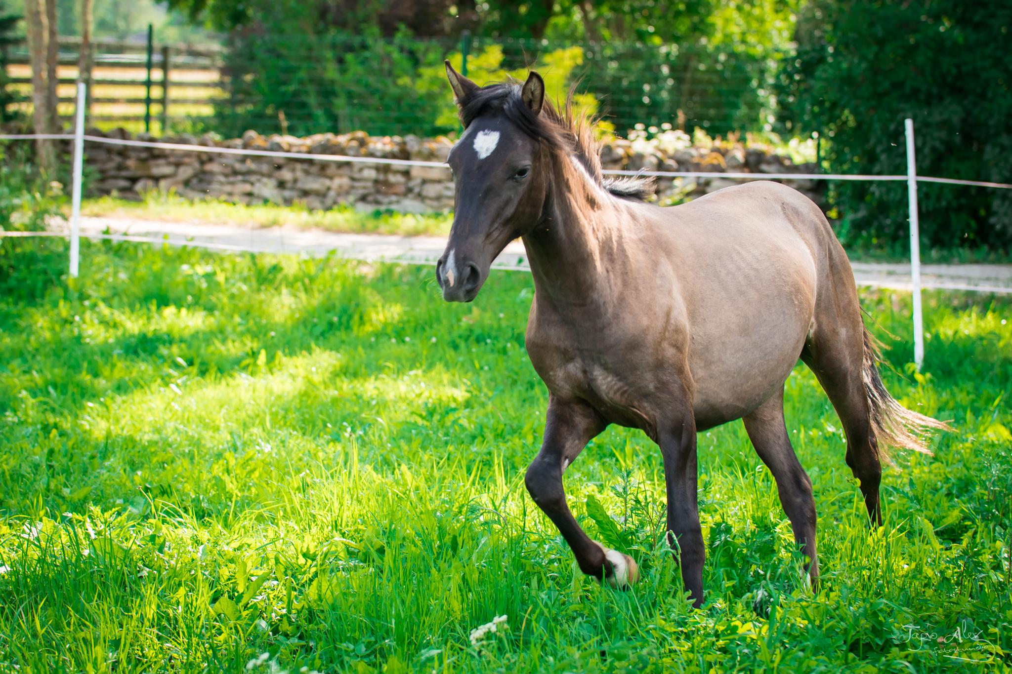Eesti hobune – Elfi – müüdud