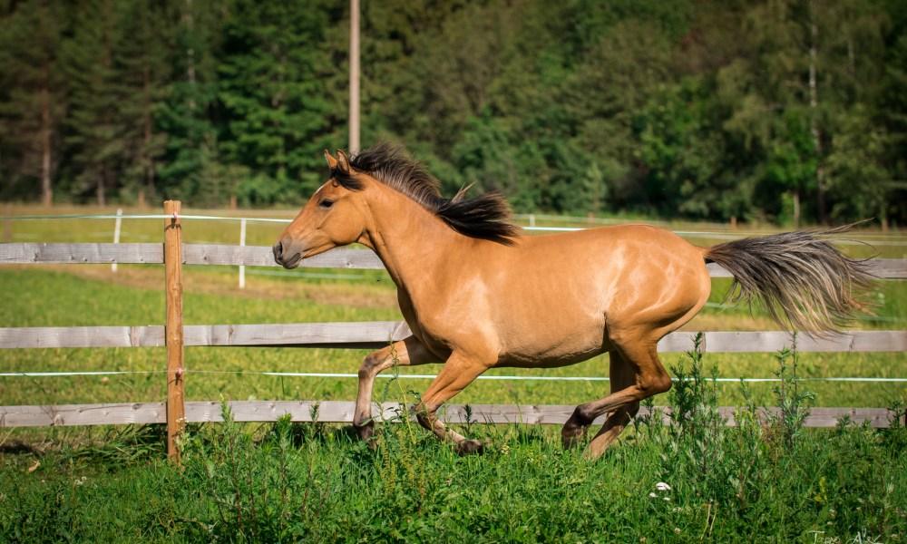 Eesti hobune – Emmeliine