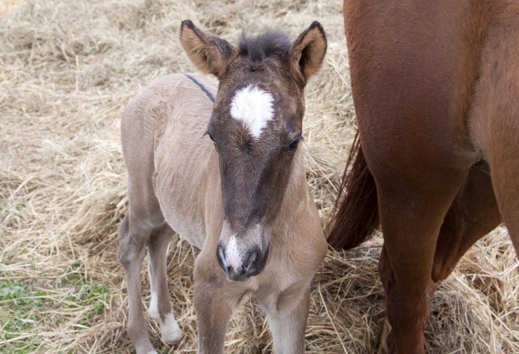Eesti hobune – Elfi