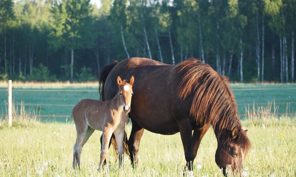 Eesti hobune – Euforia