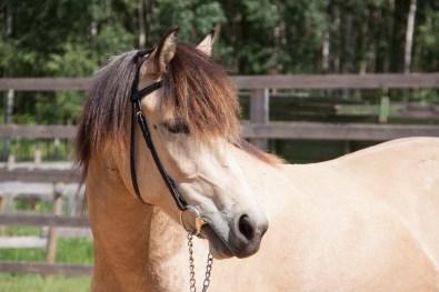 Eesti hobune Ebeeria 3 aastane (2018)