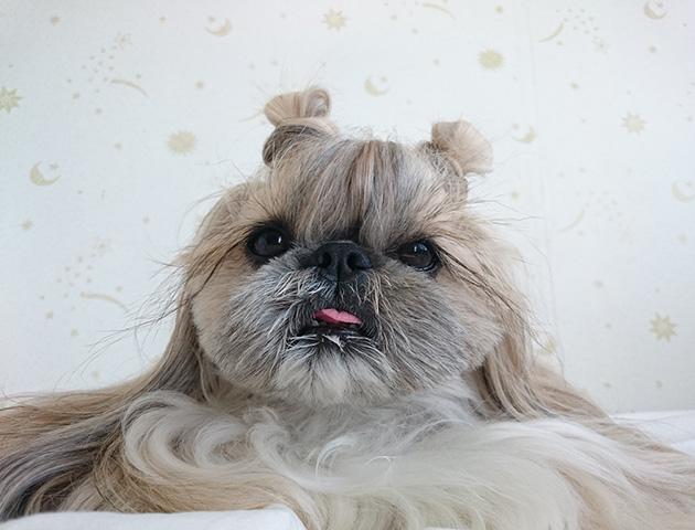 Cute Dog Kuma Is An Internet Sensation