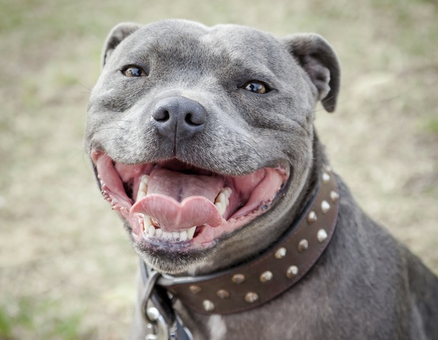 Lovable Girl Wallpaper 7 Reasons Why Staffies Are Great Dogs To Own