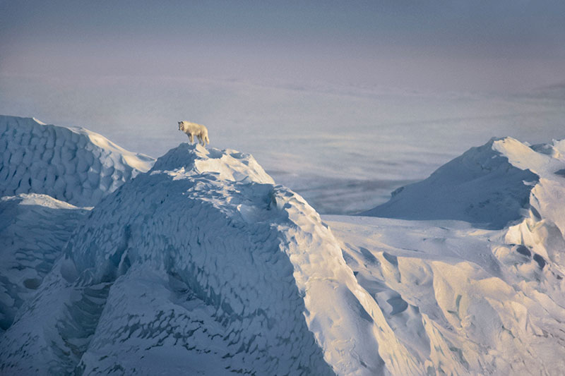 Photo Insight with Jim Brandenburg  Arctic Wolf  Amateur