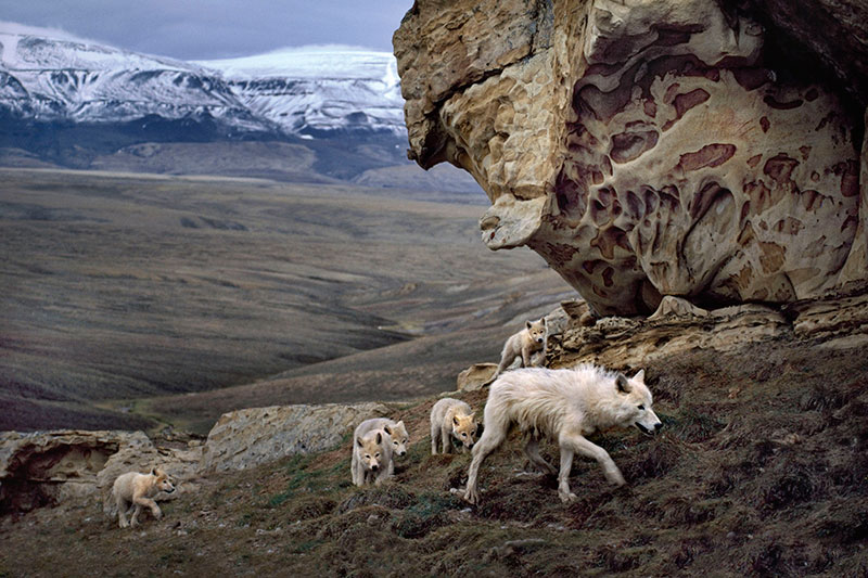 Photo Insight with Jim Brandenburg  Arctic Wolves