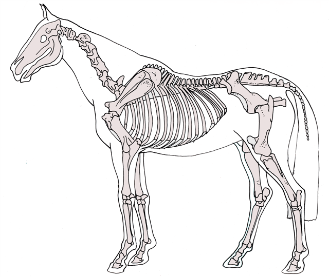 Study equine anatomy with The Open College of Equine