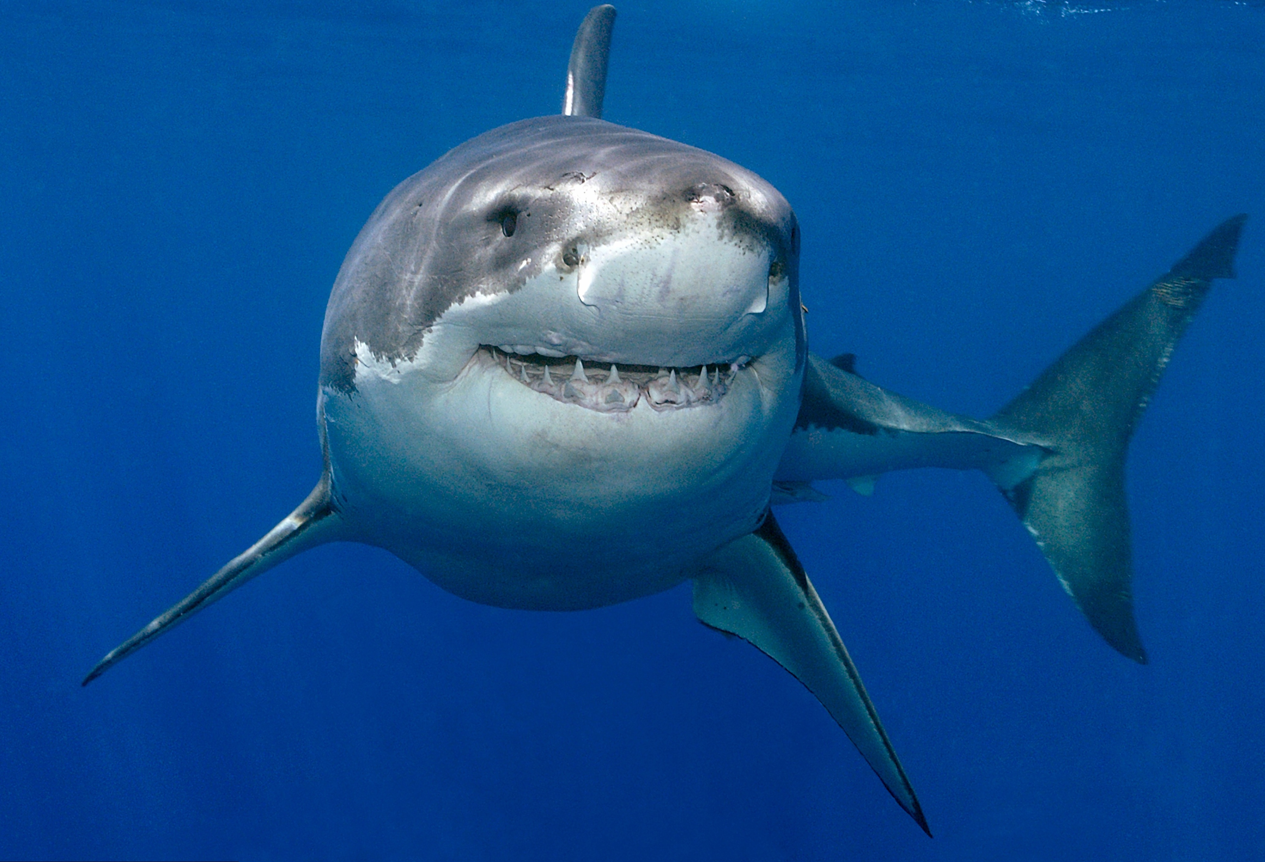 Great White Shark Lurking Metres Off English South Coast