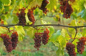 value Pinot Grigio
