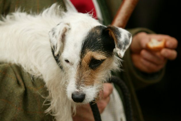 Can I Use A Jack Russell Terrier For Rough Shooting