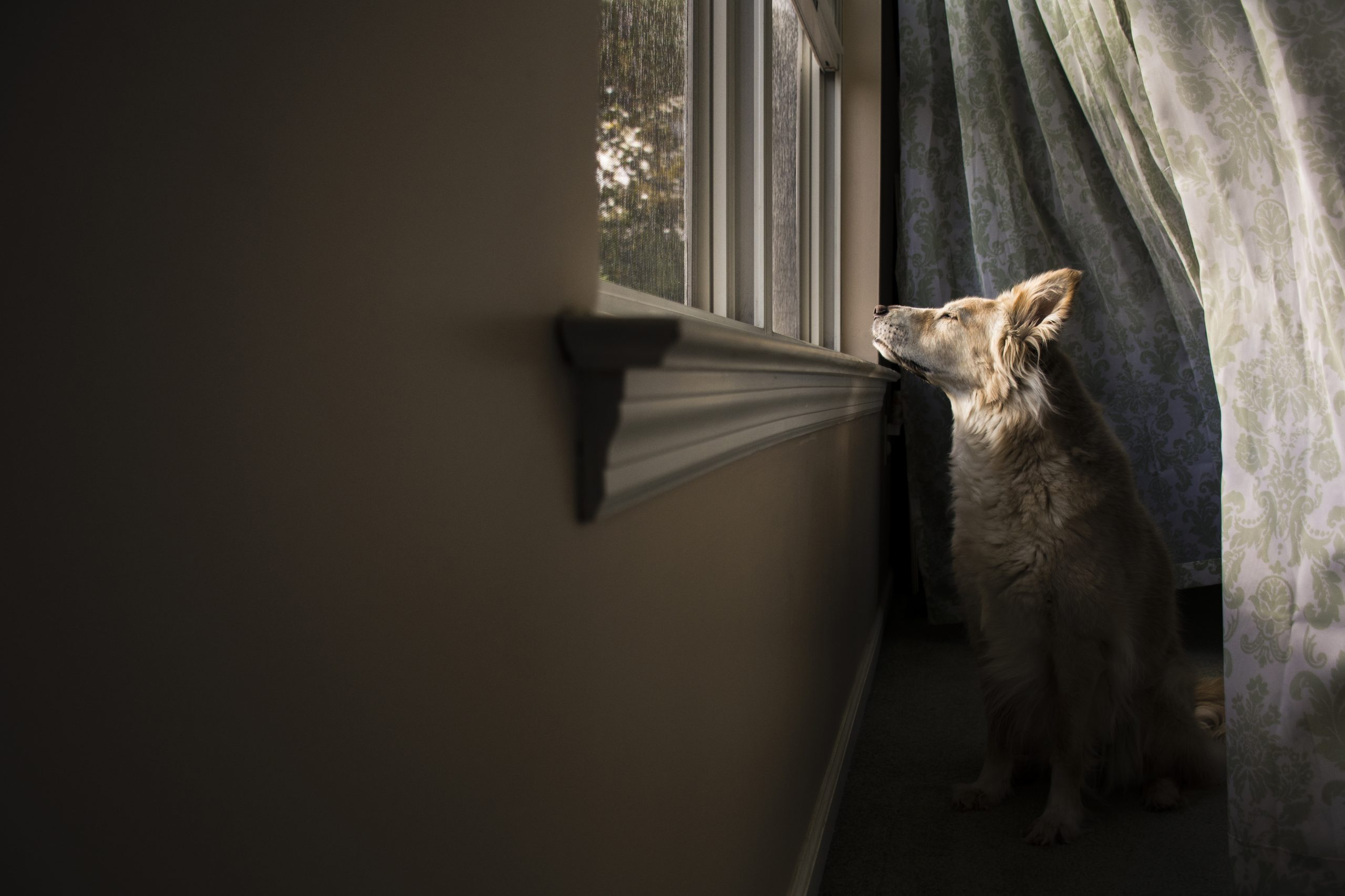 Dog looking through window while sitting at home