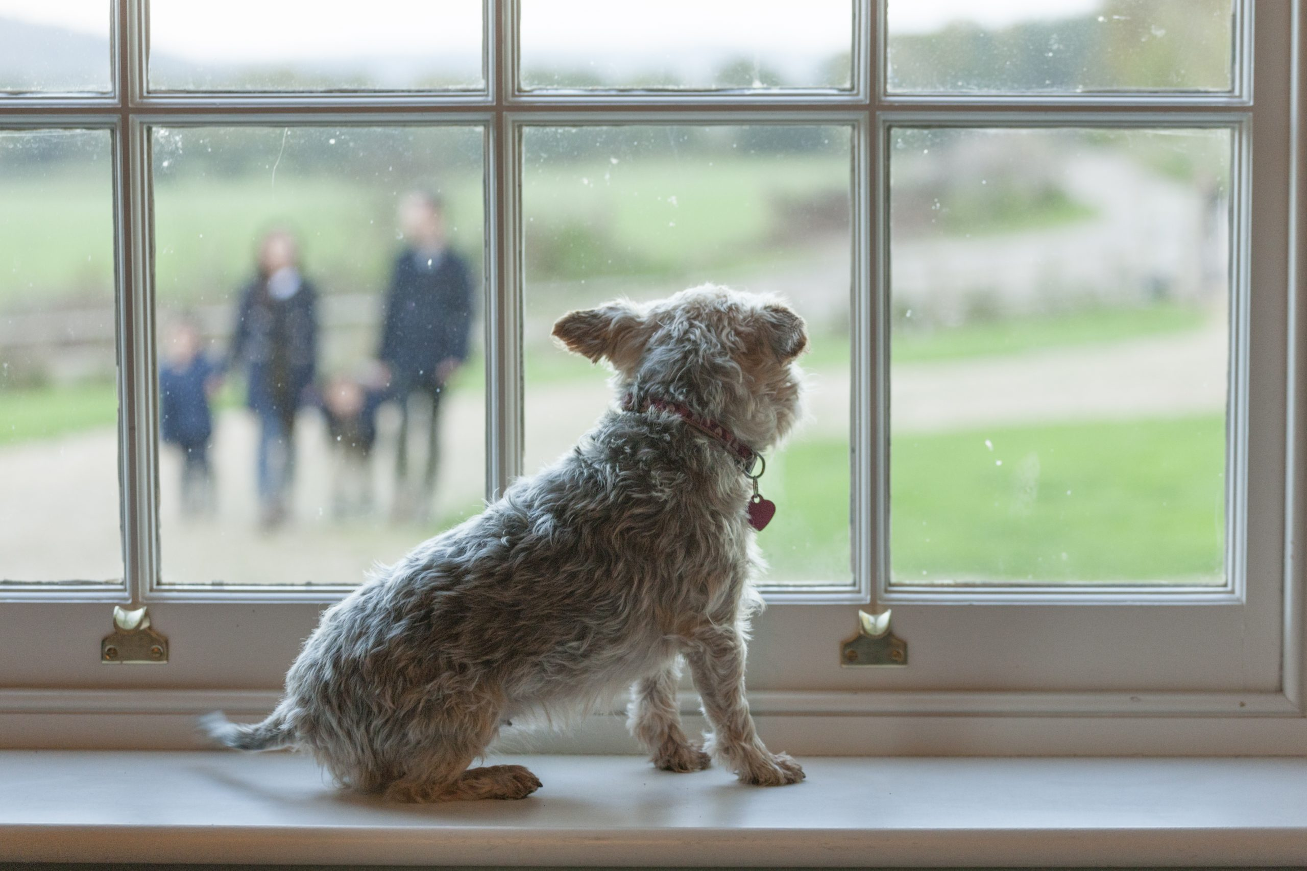 A little Norfolk terrier sits on a sash window sill