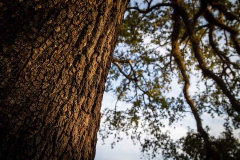Sunrise on a Live Oak